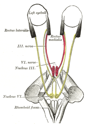 Lateral rectus muscle